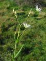 Stellaria graminea habitus.jpeg
