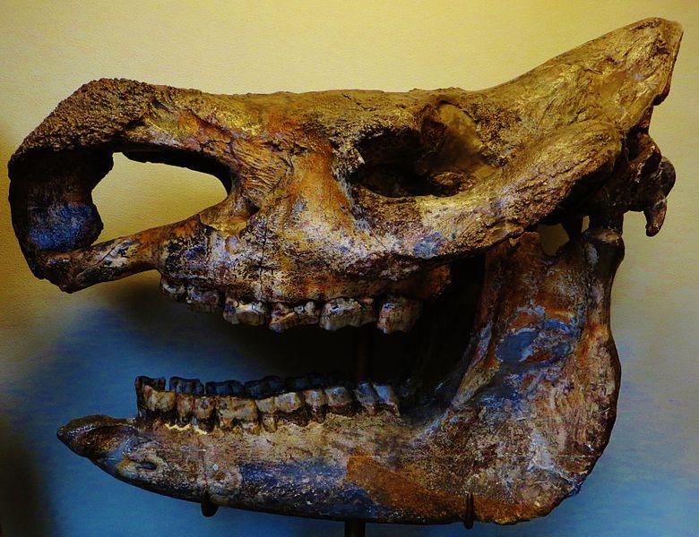 File:Stephanorhinus etruscus skull.JPG
