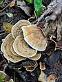 Stereum subtomentosum 52077836.jpg