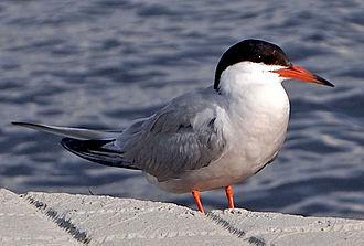 Common tern - Adult S. h. hirundo in the harbour of Jyväskylä, Finland