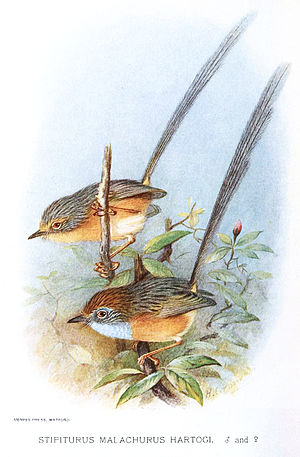 Southern emu-wren - Illustration of a male (foreground) and female