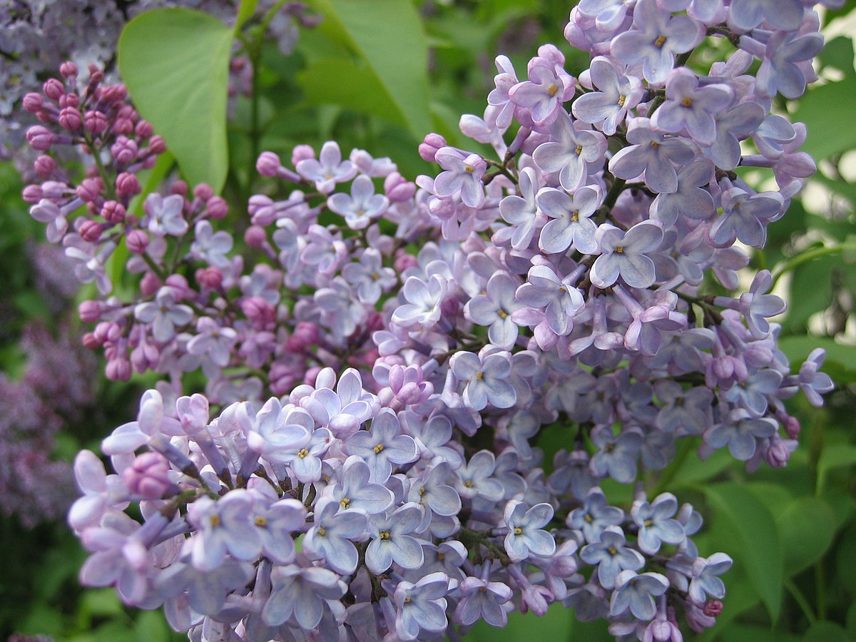 syringa  wikipedia, Natural flower
