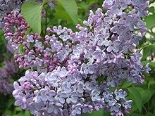 """April 6th Meeting:  Guy Guinta Jr presents """"Lilacs"""""""