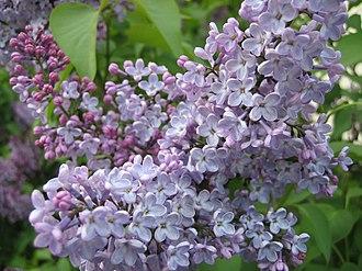 Syringa - Syringa vulgaris common lilac