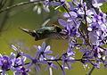 Strange little rooikoppie hummingbird on Petrea volubilis (9610092254).jpg