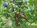 Streaked Laughingthrush (Trochalopteron lineatum) (28449978663).jpg
