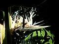 Strelitzia nicolai (7).jpg