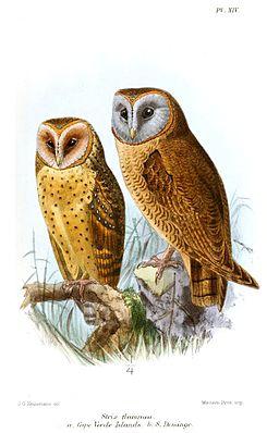 Hispaniola-Schleiereule (Tyto glaucops) (rechts), links eine Kap Verde-Schleiereule (Tyto detorta)
