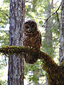 Strix occidentalis Humboldt Redwoods Park cropped.jpg