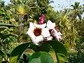 Strophanthus gratus (423971287).jpg