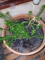 Stylidium adnatum in pot culture.jpg