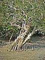 Sundarbans (11).jpg