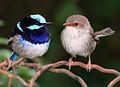 Superb fairy wrens mark 2 - cropped.jpg