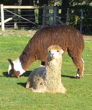 English: Two young male Suri alpacas