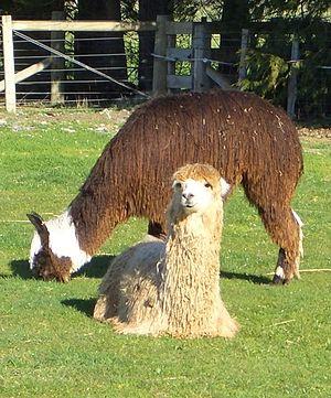 Alpaca - Suri alpacas