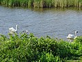 Swans and cygnets, Far Ings, Barton upon Humber - geograph.org.uk - 1318150.jpg