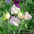 Sweet Peas, after the rain - geograph.org.uk - 1389382.jpg