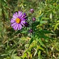 Symphyotrichum novae-angliae capitulesence.jpg
