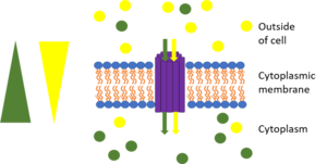 Membrane transport protein - This picture represents symport. The yellow triangle shows the concentration gradient for the yellow circles while the green triangle shows the concentration gradient for the green circles and the purple rods are the transport protein bundle. The green circles are moving against their concentration gradient through a transport protein which requires energy while the yellow circles move down their concentration gradient which releases energy. The yellow circles produce more energy through chemiosmosis than what is required to move the green circles so the movement is coupled and some energy is cancelled out. One example is the lactose permease which allows protons to go down its concentration gradient into the cell while also pumping lactose into the cell.