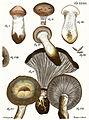 Tab36-Agaricus glutinosus Schaeff.jpg