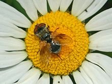 Tachinidae - Ectophasia crassipennis-1.JPG