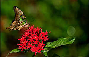 The Tailed Jay (Graphium agamemnon) is a predo...