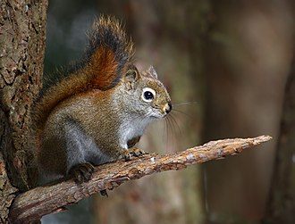 American red squirrel - at Cap Tourmente National Wildlife Area, Quebec