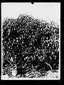 Tapioca Plants, Botanic Gardens, Darwin, Northern Territory(GN00911).jpg