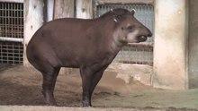 File:Tapir-uenozoo-2009.ogv
