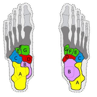 Tarsus (skeleton) bone of foot