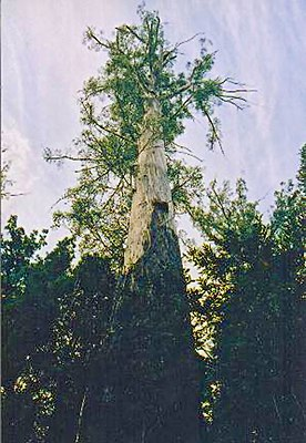 Tasmania logging 14 Chapel tree.jpg