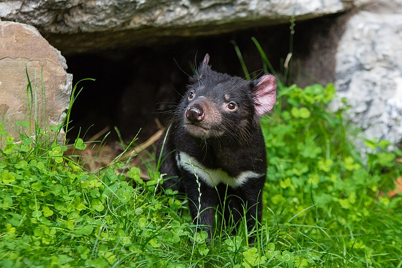 File:Tasmanian Devil (36313458360).jpg