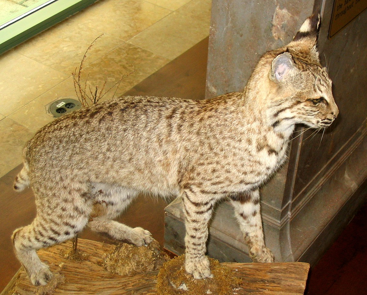 Taxidermy - Simple English Wikipedia, the free encyclopedia - photo#28