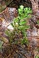 Taxus canadensis (16333739751).jpg