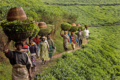 Tea workers.png