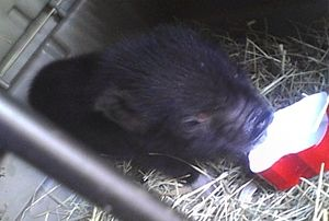 Miniature pig - 'Teacup-sized' immature piglet