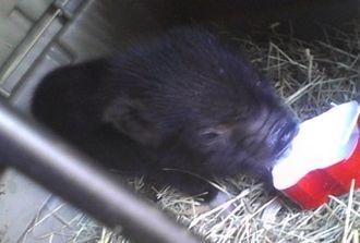 Miniature pig - 'Teacup-sized' immature piglet