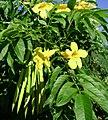 Tecoma stans, flowers+pods.jpg