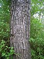 Terminalia tomentosa bark.jpg