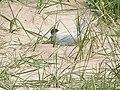 Tern Colony, Beadnell Sand Dunes - geograph.org.uk - 69652.jpg