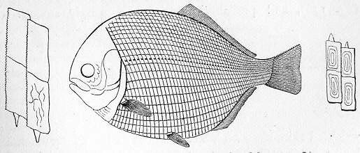 Tetragonolepis