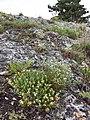 Teucrium montanum sl2.jpg