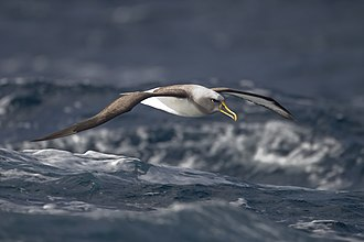 Procellariiformes - Buller's albatross