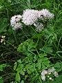Thalictrum aquiliegiifolium RF.jpg