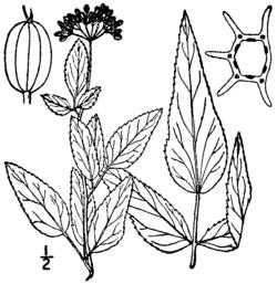Thaspium trifoliatum BB-1913.png