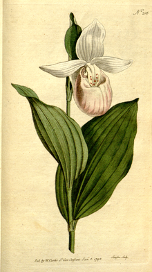 The Botanical Magazine, Plate 216 (Volume 6, 1793).png