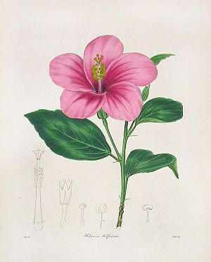 Charles Telfair - Hibiscus telfairia