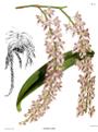 The Orchid Album-01-0065-0021-Aerides lobbii.png