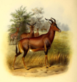The book of antelopes (1894) Damaliscus lunatus.png