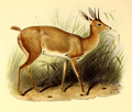 The book of antelopes (1894) Raphiceros campestris.png